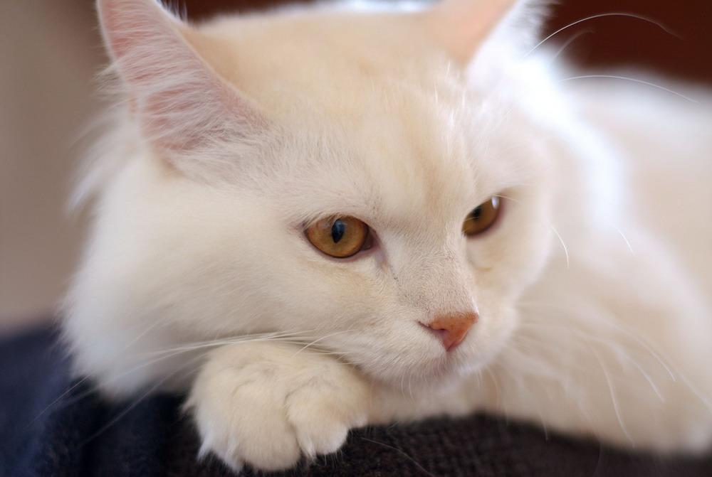 Chùm ảnh: Thế giới loài mèo -mèo Angora Turkish