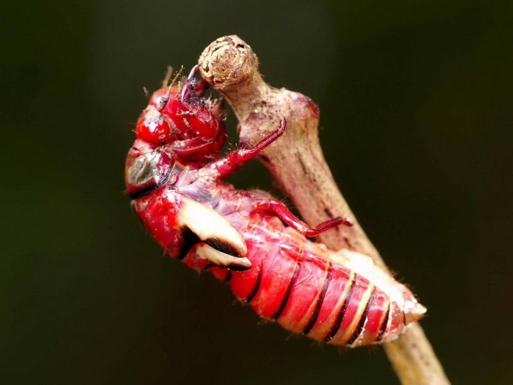 Chùm ảnh: Ngắm loài ve sầu đỏ rực tuyệt đẹp của Việt Nam