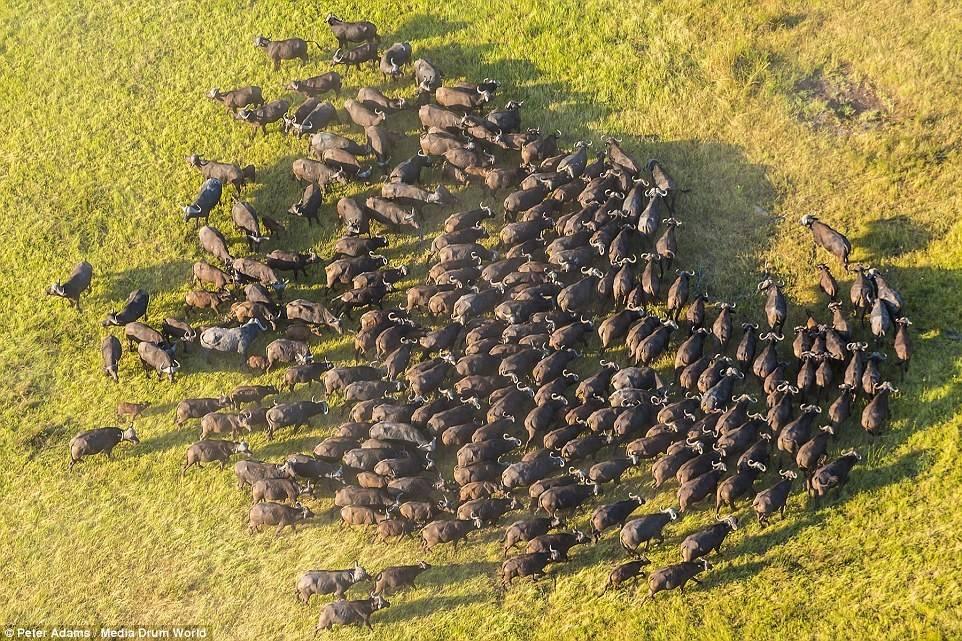 Một đàn trâu hoang đứng thành vòng tròn.
