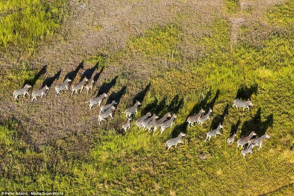 Đàn ngựa vằn lang thang trên đồng cỏ xanh.