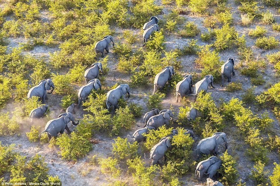 Hình ảnh đàn voi nhìn từ trên cao này đã mang đến cho người xem một góc nhìn cực kì độc đáo.