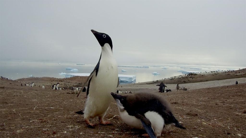 Chùm ảnh: Cuộc sống bấp bênh của chim cánh cụt khi băng tan