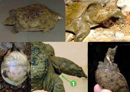 Nhận dạng 26 loài rùa ở Việt Nam qua hình ảnh