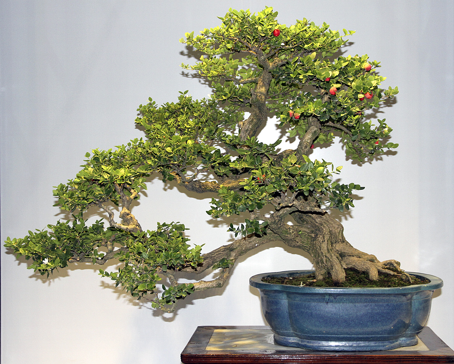 Image result for china bonsai