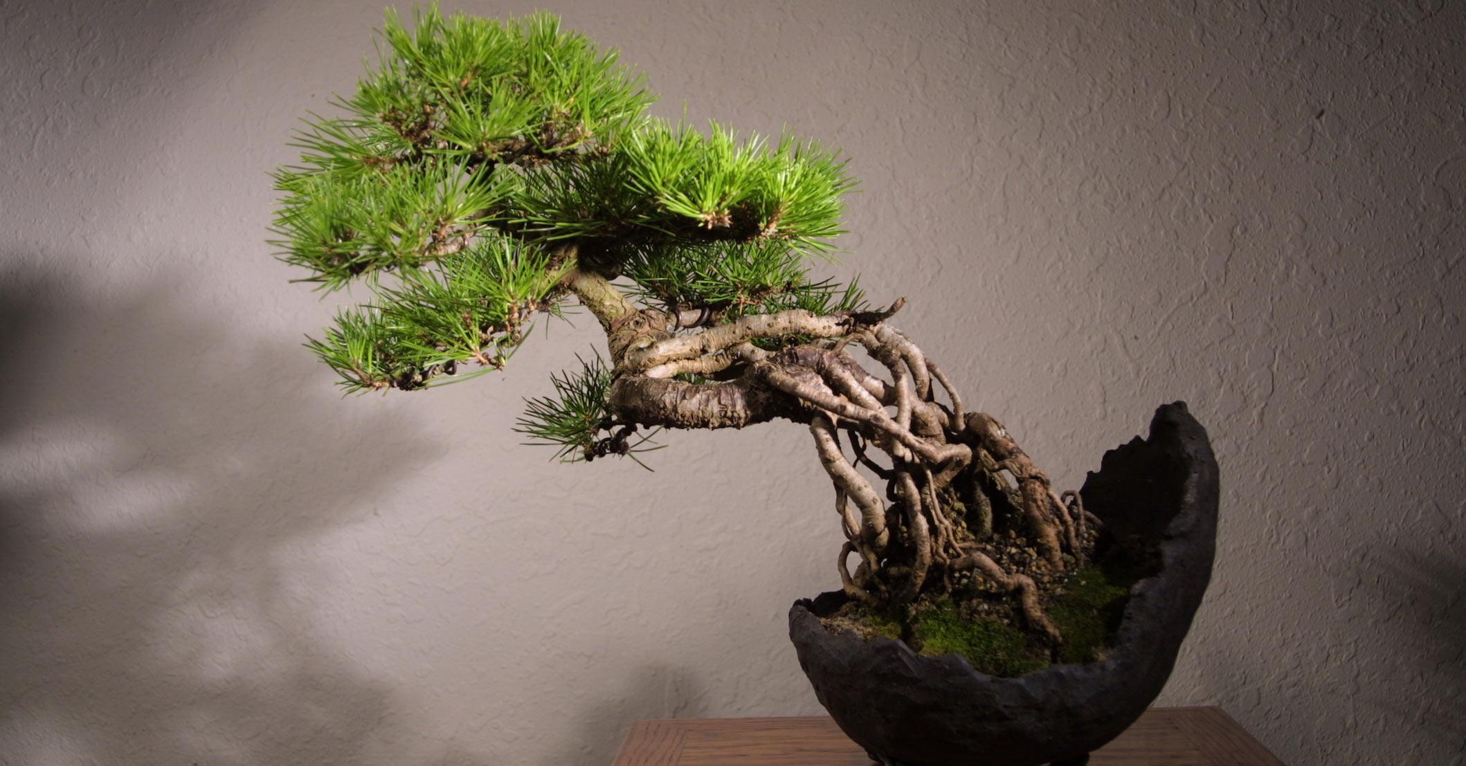 Image result for japan bonsai