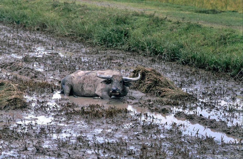 Trâu bò trong bùn