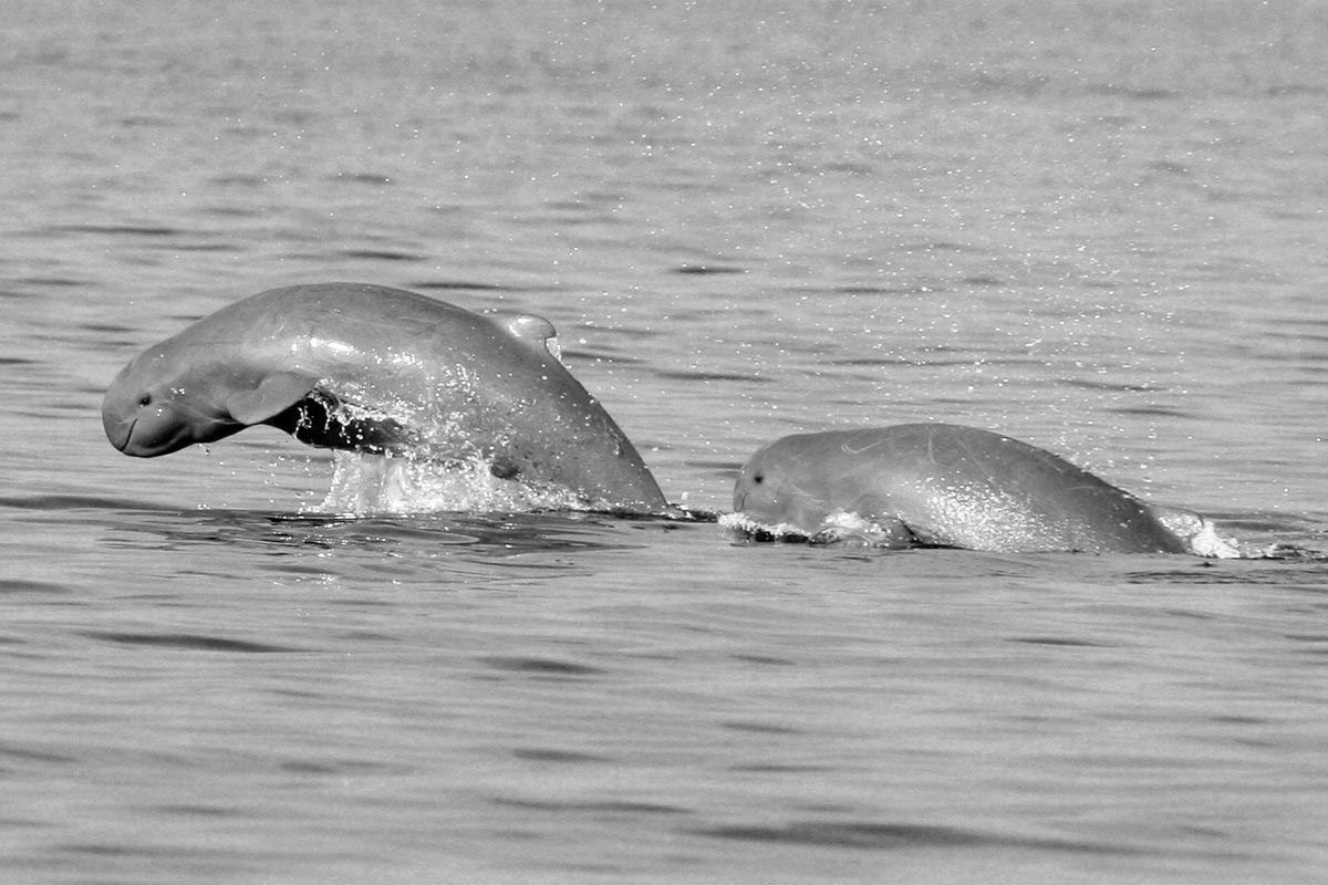 Ký ức đau buồn về các 'ông' cá nược ở miền Tây Nam Bộ