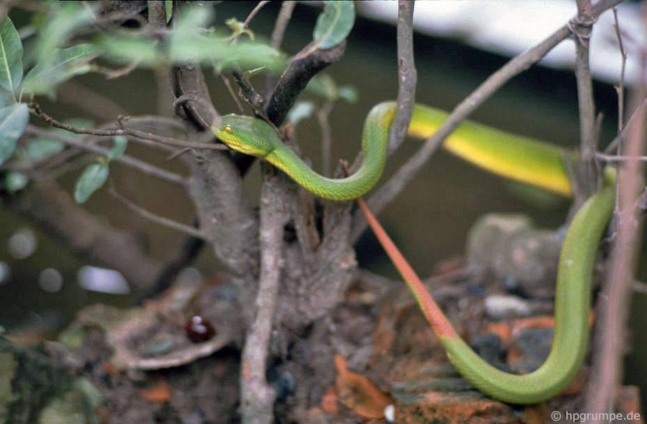 Trại rắn Don Tâm: Rắn cây xanh