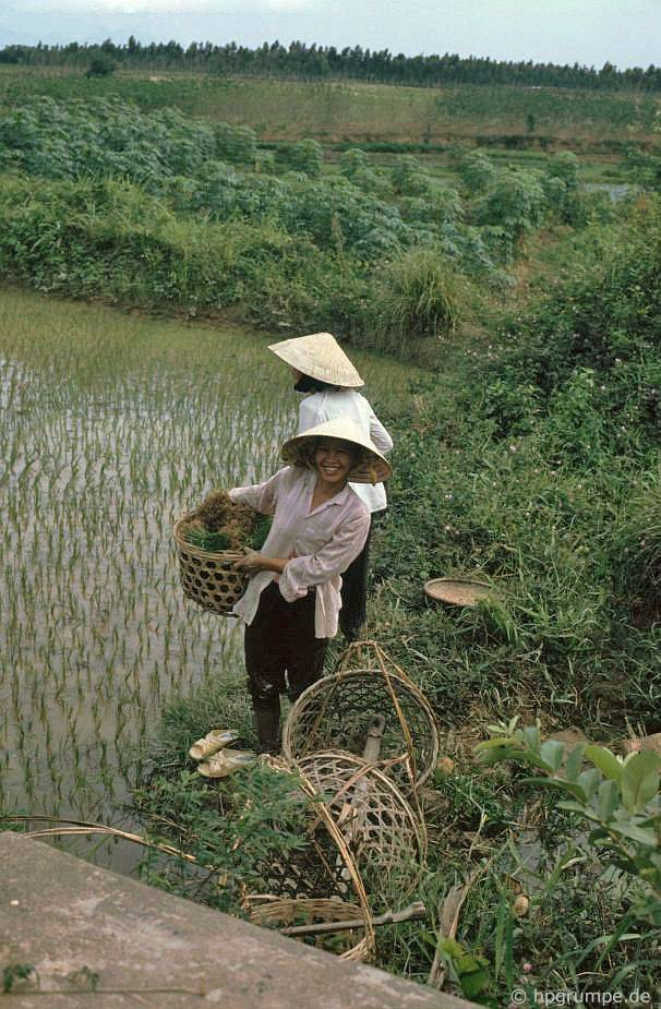 Hai cây lúa gạo
