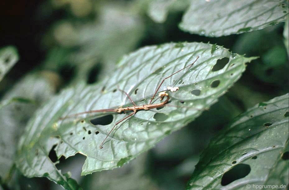 Vườn Quốc gia Cúc Phương: Stick insect