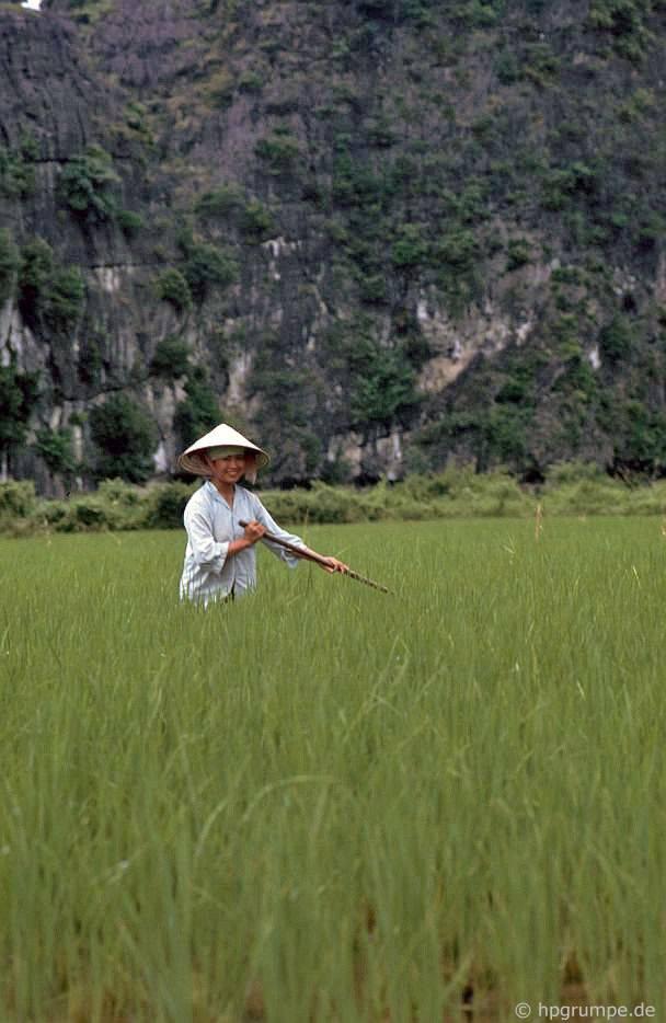 Ruộng lúa ở vịnh khô