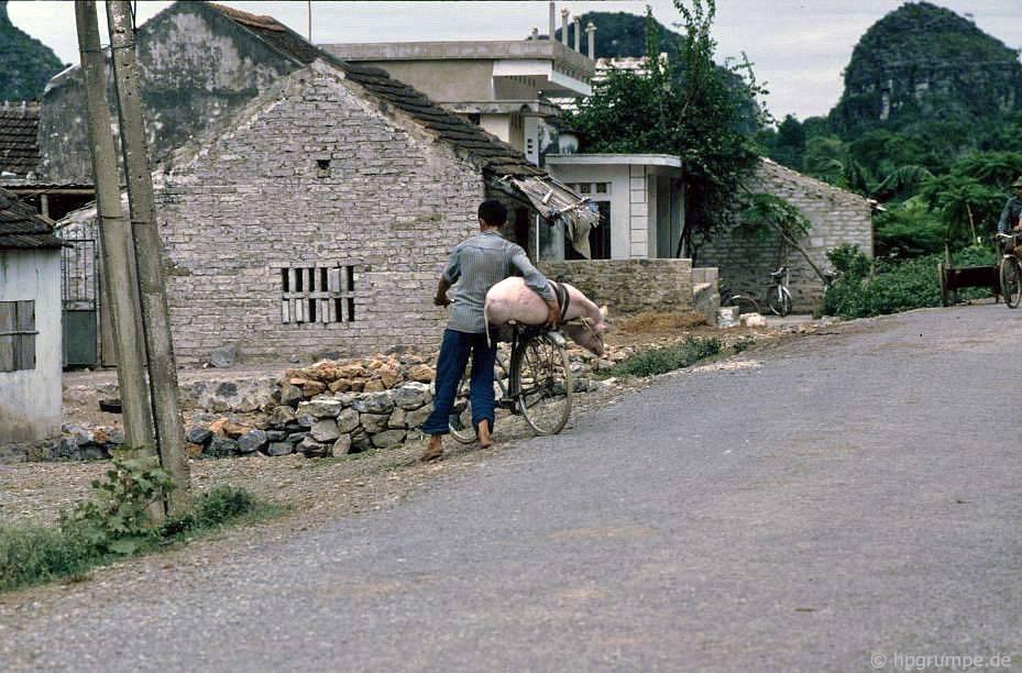 Vận chuyển lợn trên xe đạp