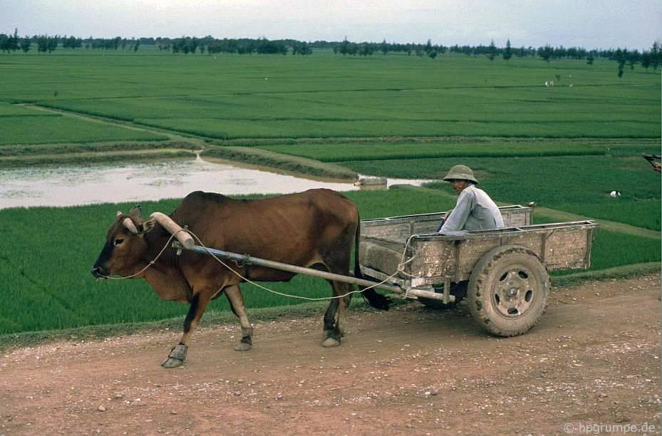 Xe bò và ruộng lúa
