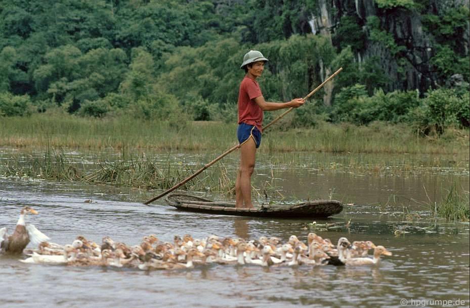 Trên kênh đào đến chùa Hương: Vịt dê