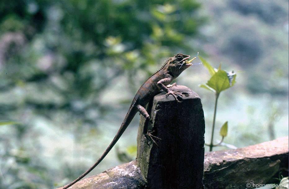 Tại chùa nước hoa: thằn lằn