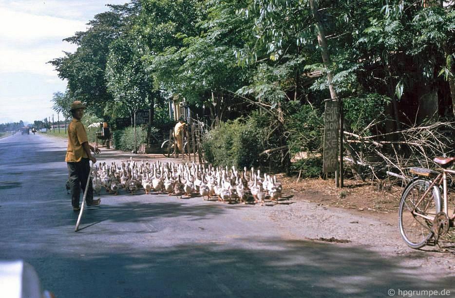 Gänsehirt trên đường số 1 phía nam Huế