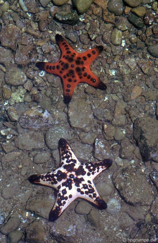 Đảo Hòn Miễu: sao biển
