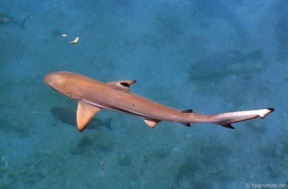 Đảo Hòn Miễu: cá mập