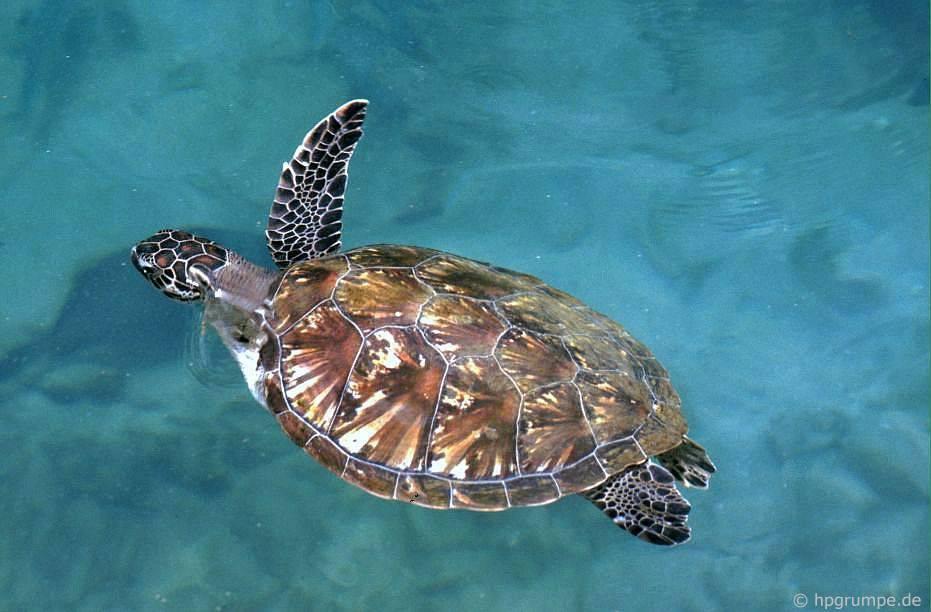 Đảo Hòn Miễu: rùa biển