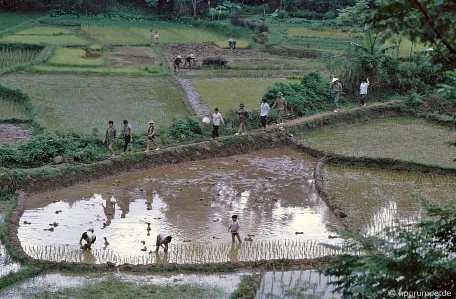 Hòa Bình: Làm việc trên ruộng lúa