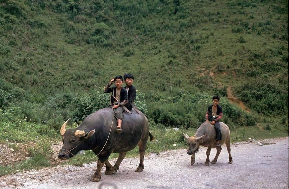 Con trâu (người Thái đen) trên đường đến Sơn La