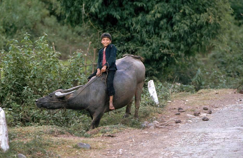 Trâu bò trên đường đến Sơn La