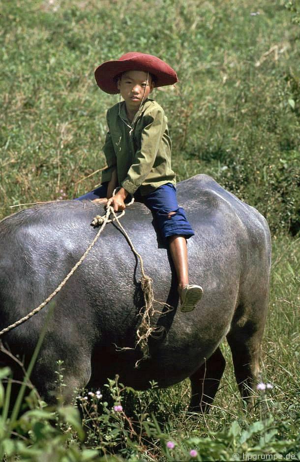 Điện Biên: Buffalo boy