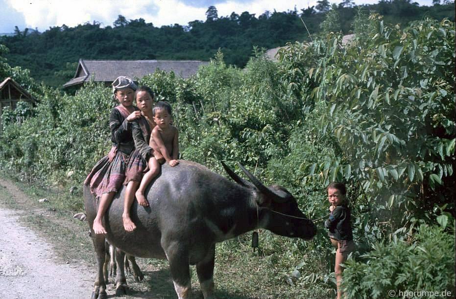 Trẻ em Thái trên một trâu