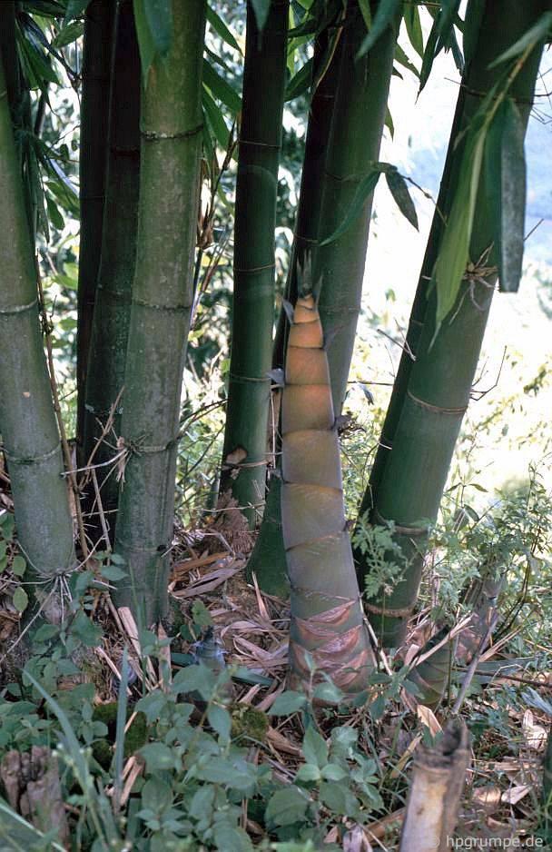 Bambussprosse