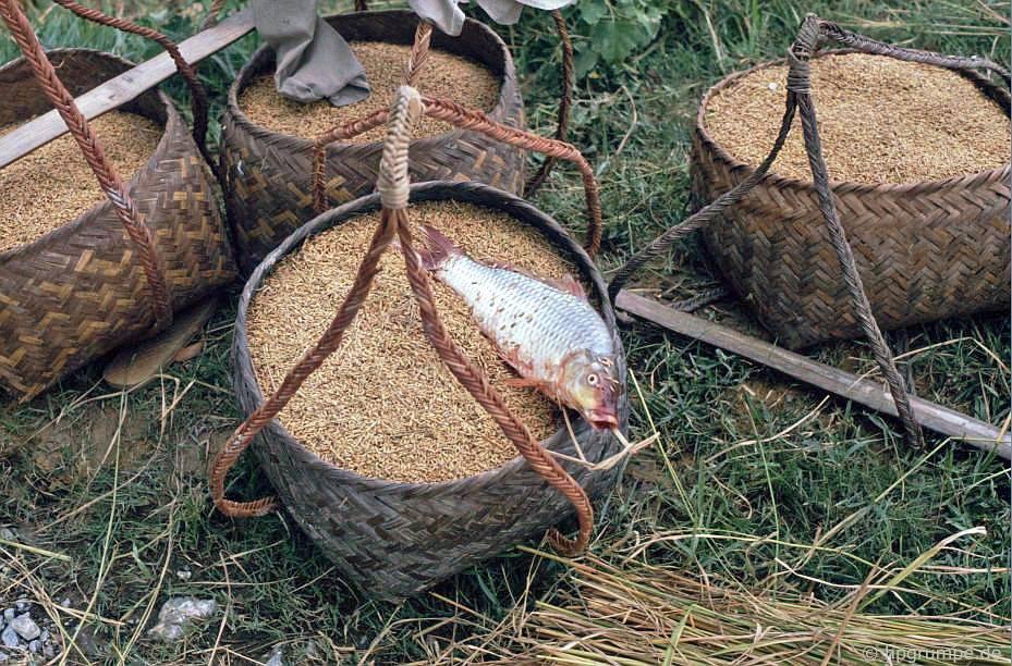 Vẫn còn cuộc sống với gạo và cá