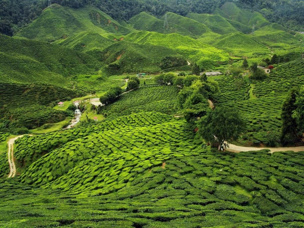 Trang trại chè Assam xanh ngút ngàn ở vùng đông bắc Ấn Độ.