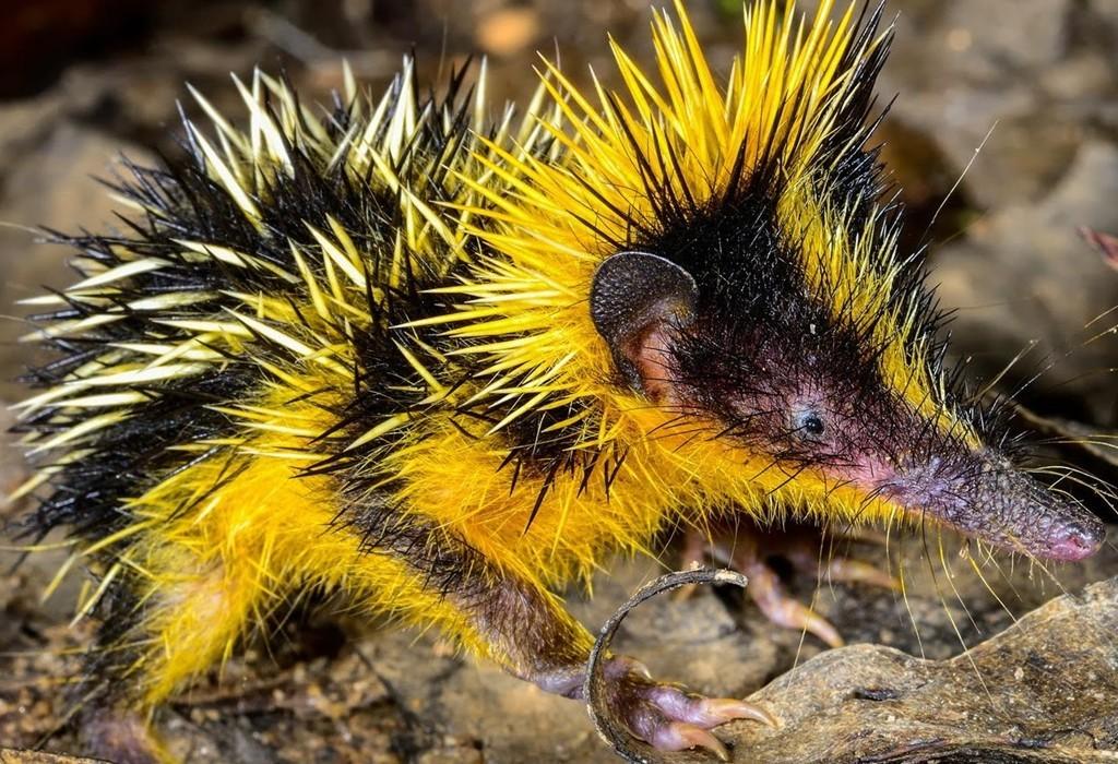 Tenrec: Có bề ngoài khá giống loài nhím, Tenrec có vai trò tương tự trong hệ sinh thái và ăn côn trùng.