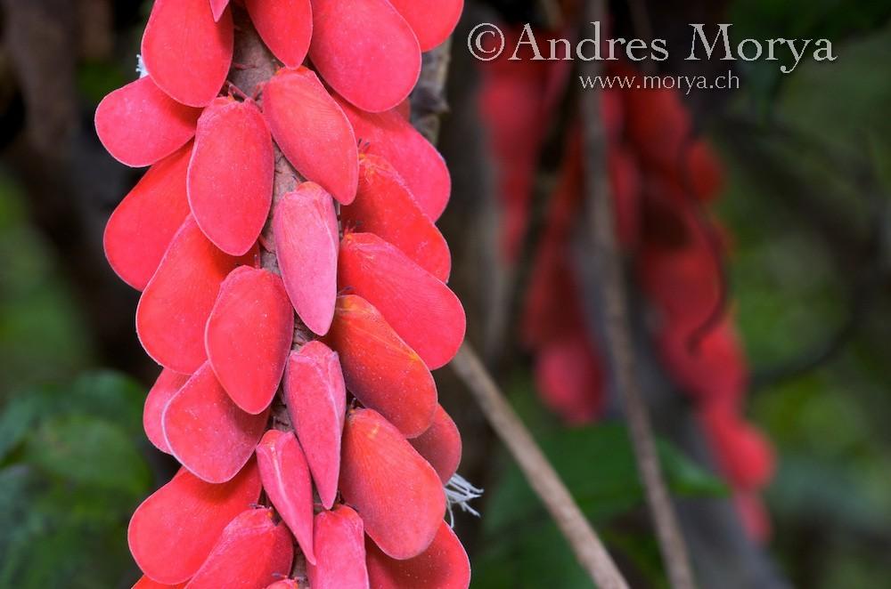 Bọ lá Flatid: Madagascar có vô số loài bọ, trong đó bọ lá Flatid thu hút sự chú ý bởi màu hồng sặc sỡ.
