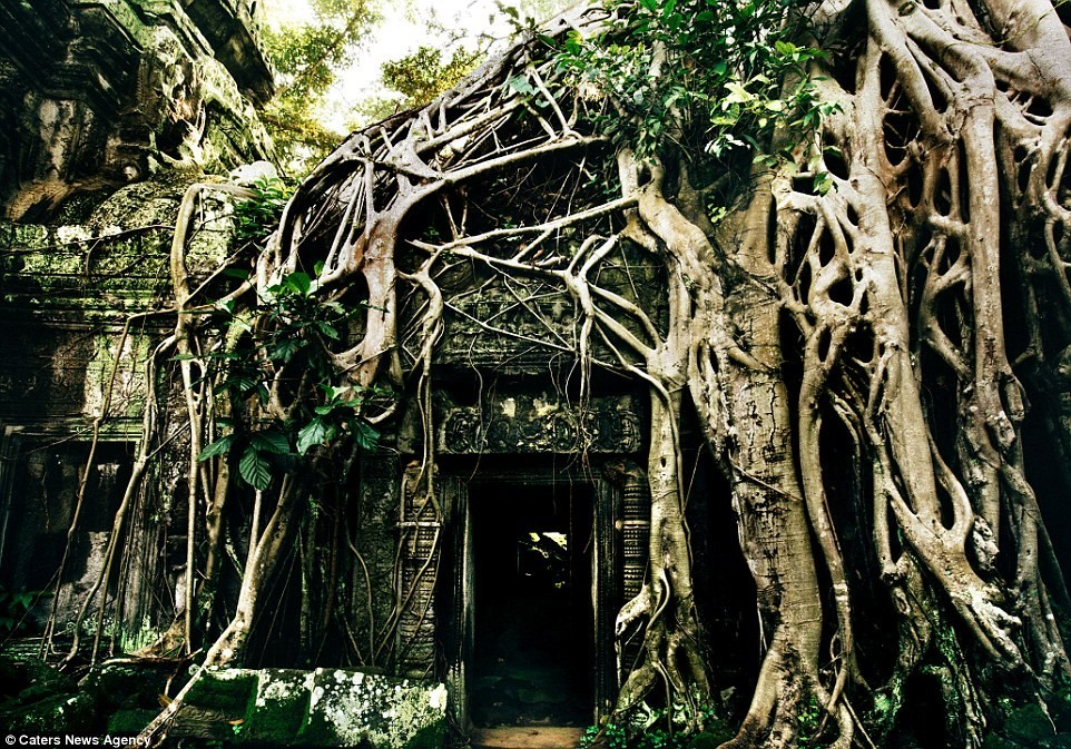 Các cây cổ thụ trùm rễ lên đền Ta Prohm.