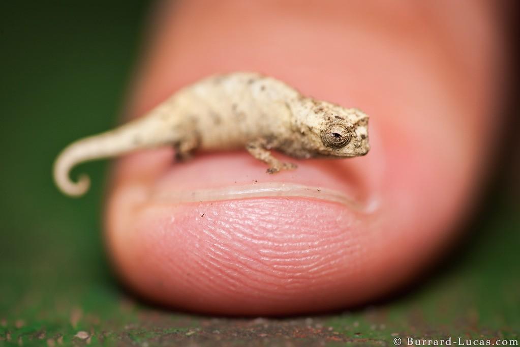 Tắc kè Brookesia: Đây là loài bò sát nhỏ nhất thế giới, chiều dài tối đa chỉ khoảng 2,5 cm. Kích cỡ này khiến chúng dễ dàng di chuyển trên các tán lá. Ảnh: Burrard-lucas.
