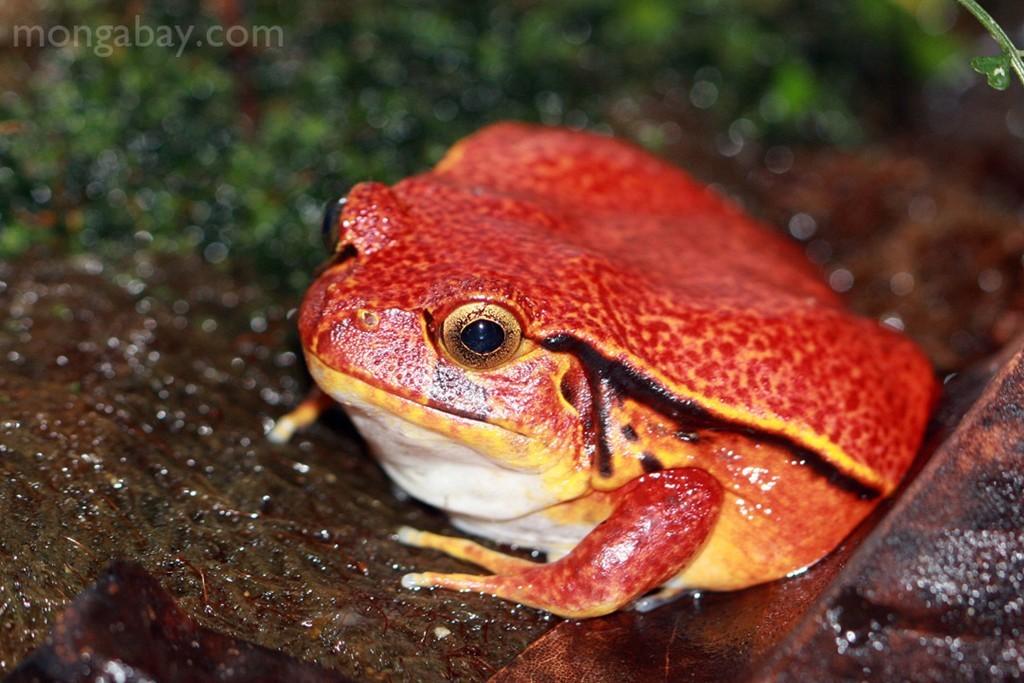 Ếch cà chua: Loài ếch này có cái tên thú vị như vậy nhờ ngoại hình giống hệt một quả cà chua chín mọng. Da chúng tiết ra một chất dịch nhờn dính, có độc với con người. Ảnh: Mongabay.