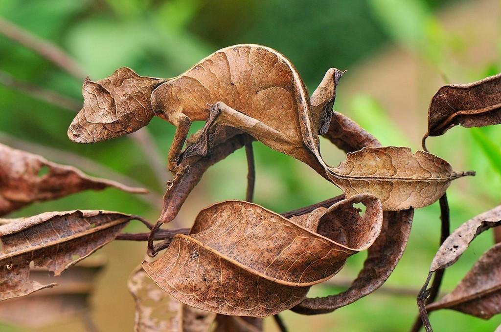 Thằn lằn Uroplatus: Loài bò sát này có lớp ngụy trang hoàn hảo, thường lẫn với lá và thân cây. Con mồi chủ yếu của chúng là bọ và các côn trùng nhỏ. Ảnh: Animal-find.