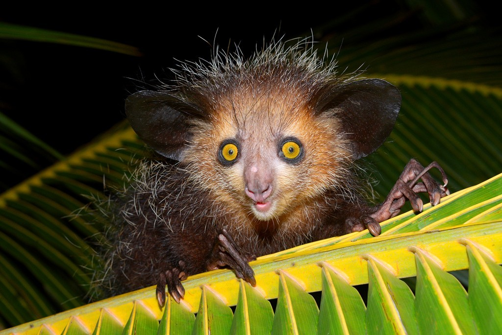 Aye-Aye: Loài ăn côn trùng này có vẻ ngoài lai giữa chuột và vượn cáo. Chúng dùng những ngón tay dài khẳng khiu để mò tìm con mồi trong thân và cành cây, sau đó gặm cây để bắt mồi. Ảnh: Nationalgeographic.