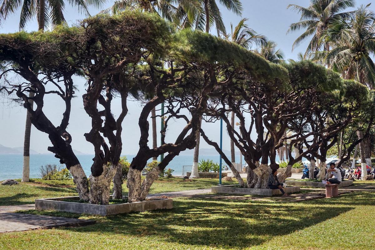 Chùm ảnh: Hàng phi lao cổ thụ tuyệt đẹp bên bờ biển Nha Trang