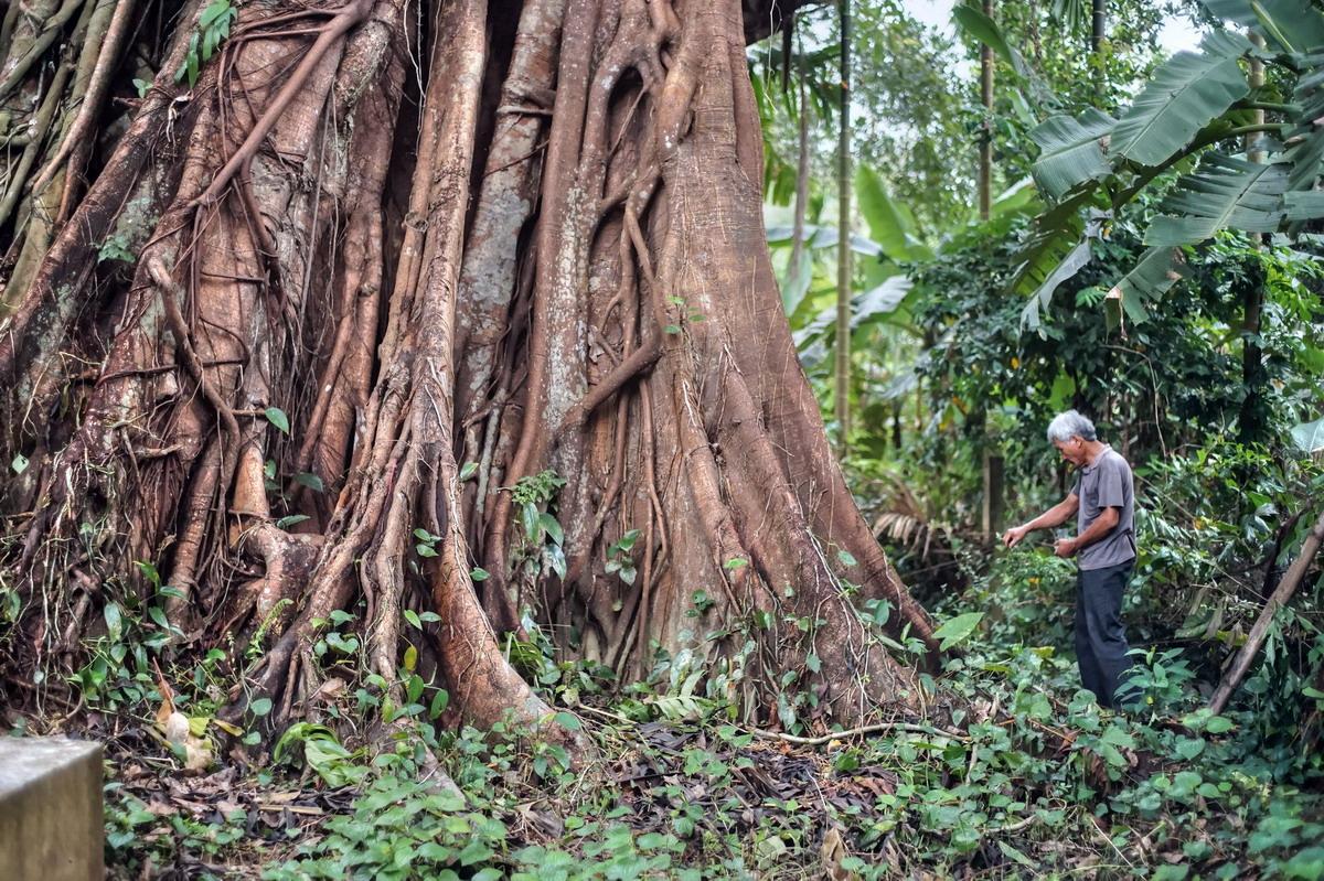 Chùm ảnh: Cây đa cổ thụ vòng thân 20 mét ở Quảng Ngãi