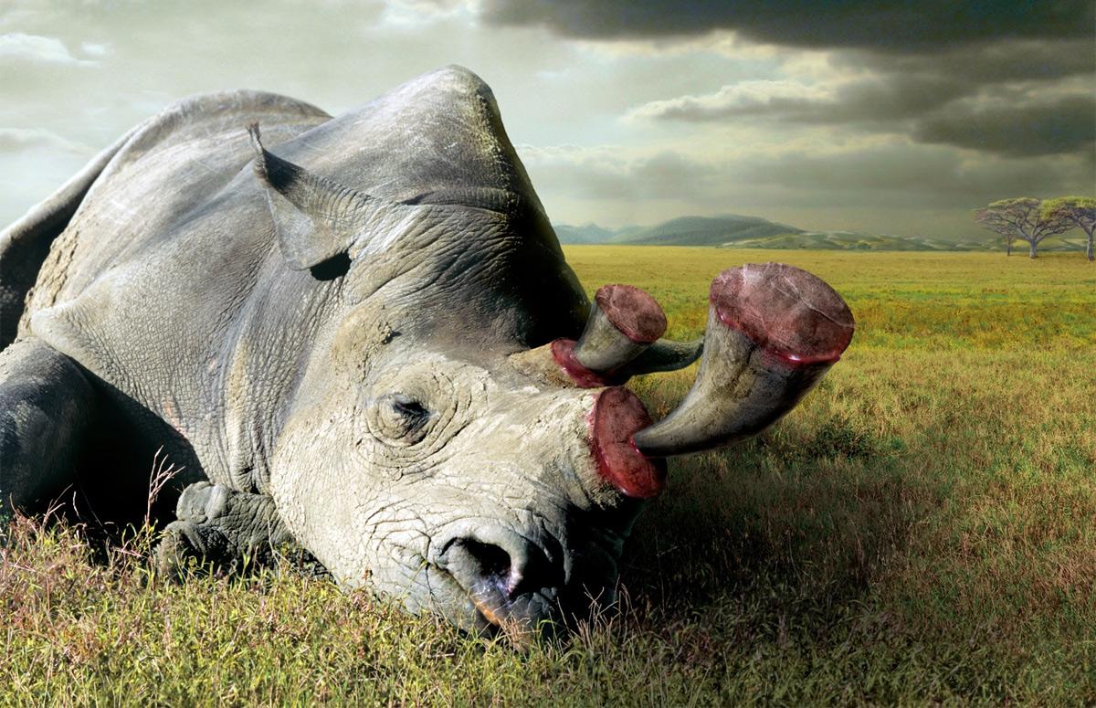 Không phải Trung Quốc, chính người Việt đẩy loài tê giác đến họa diệt vong