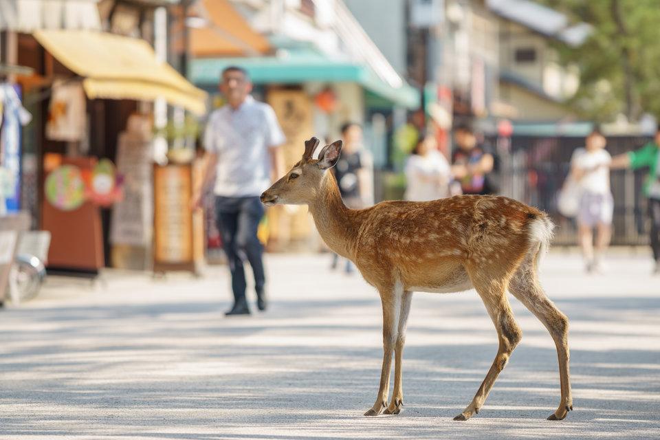 Chùm ảnh: Tsukushima – hòn đảo tôn thờ loài hươu như thần thánh ở Nhật Bản