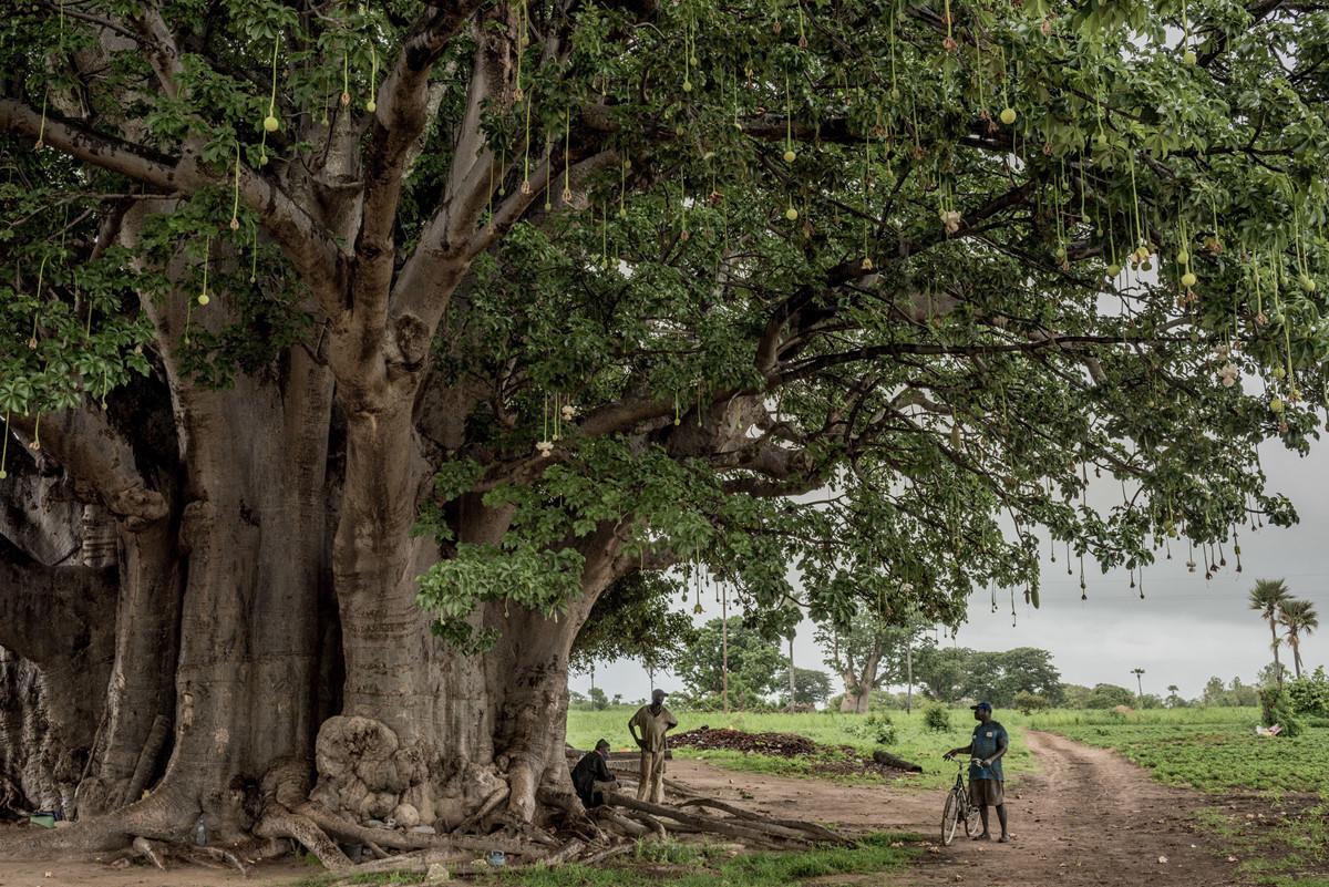Chùm ảnh: Cái chết của những cây bao báp cổ thụ trong thời hiện đại