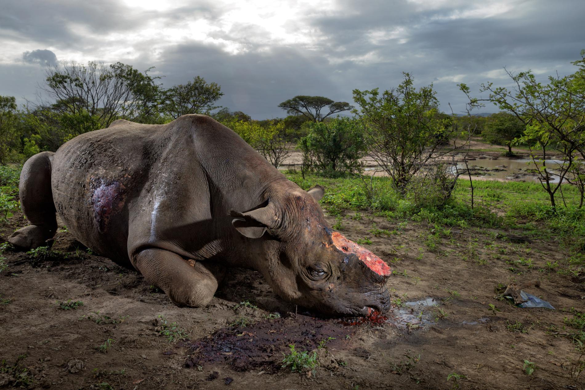 Chứng hoang tưởng mang tên 'sừng tê giác' của người Việt Nam