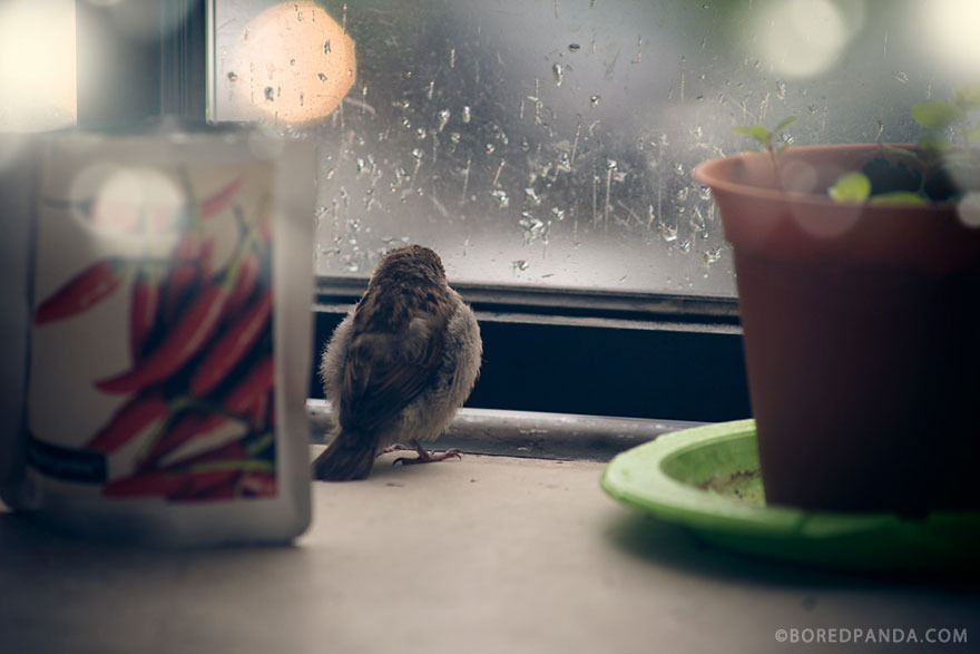 Chùm ảnh: Câu chuyện cảm động về chú chim sẻ mù của chúng tôi