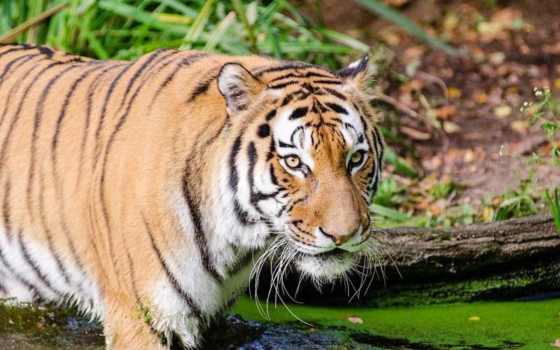 'Văn hóa quan chức' và sự diệt vong của loài hổ ở Việt Nam