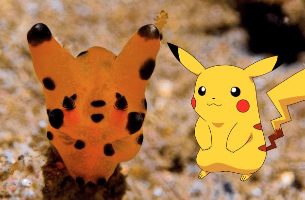 Chùm ảnh: Thecacera Pacifica – loài động vật ngộ nghĩnh giống hệt Pikachu