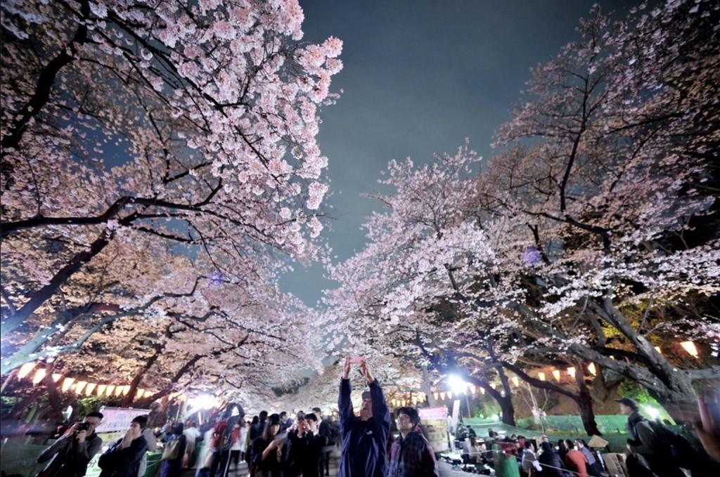 Những bức ảnh đẹp mê mẩn về hoa anh đào Nhật Bản