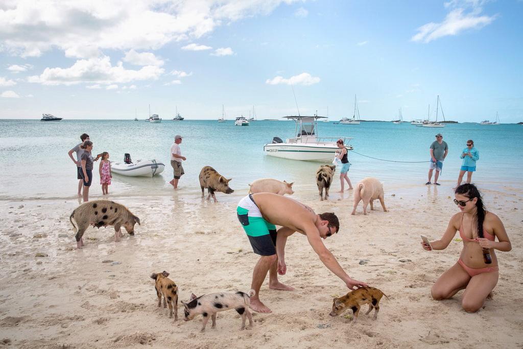 Chùm ảnh: Hòn đảo đầy lợn bơi giỏi, biết xin ăn