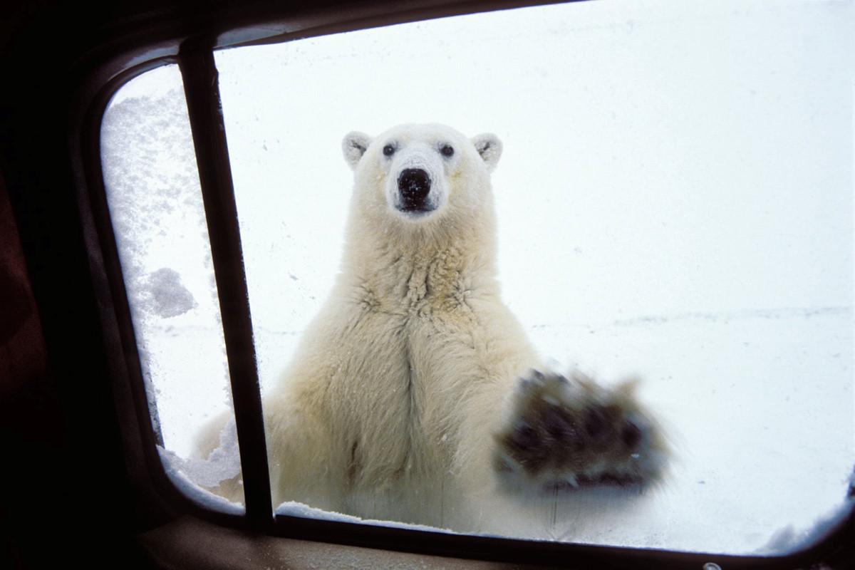 Chùm ảnh: Cuộc sống giữa đàn gấu trắng ở thị trấn Churchill của Canada